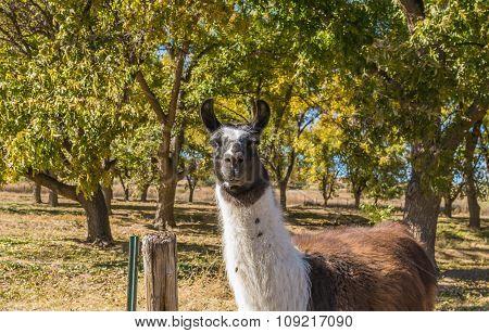 Llama in Pecan Orchard
