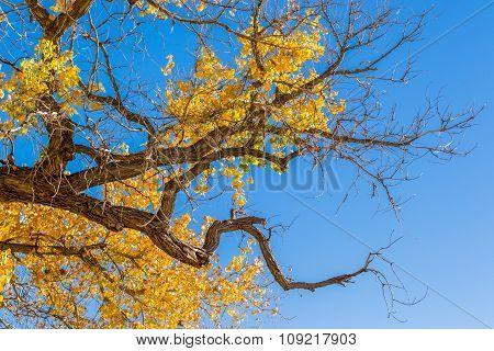 Gnarled Cottonwood Tree