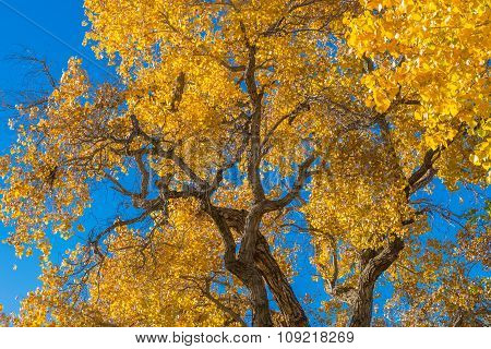 Autumn Cottonwood