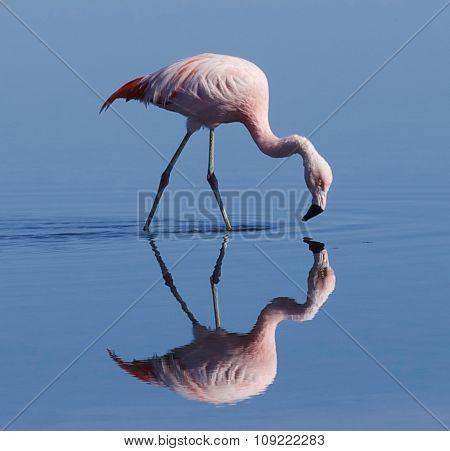 Flamingo feeding
