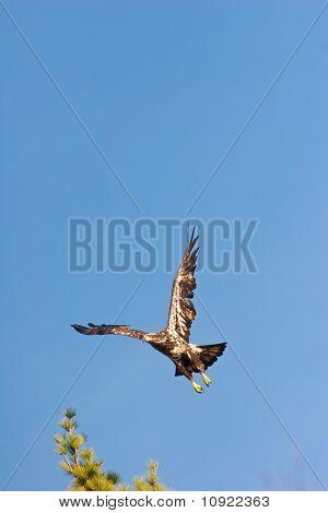 Wild Immature Bald Eagle Takeoff