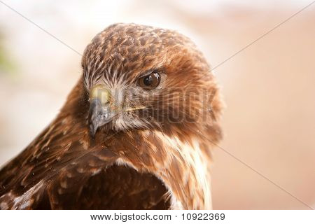 Red Tail Hawk With Snow Flakes On Feathers
