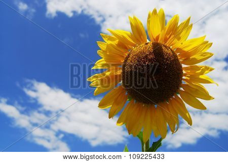 Big Sunflower In The Garden And Blue Sky, Thailand