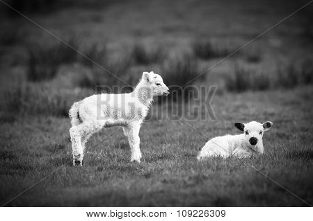 Lambs stood and sat