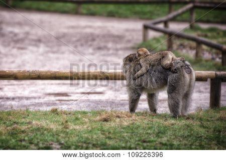 Baby monkey on mums back