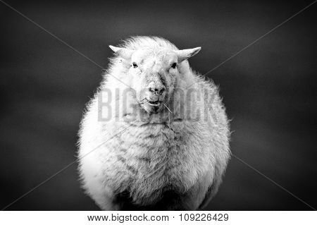 Sheep with straw