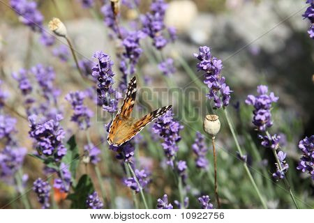 Painted lady on lavender