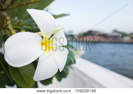 White Plumeria Flower With Green Leaf And River In Background