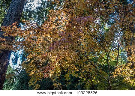 Backyard Japanese Maple 4