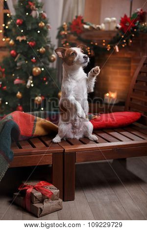Dog Jack Russell Terrier Holiday, Christmas