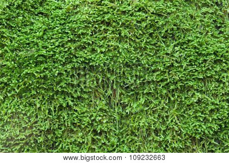 Close up moss Texture to use as wallpaper