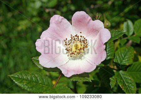 Common dog rose flower