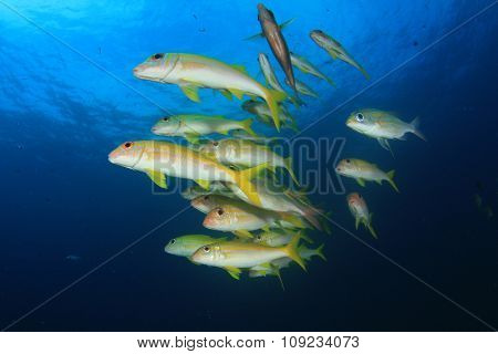 Yellow fish Goatfish