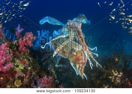 Pair Cuttlefish mating