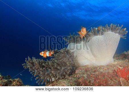 Anemone Clownfish Nemo fish