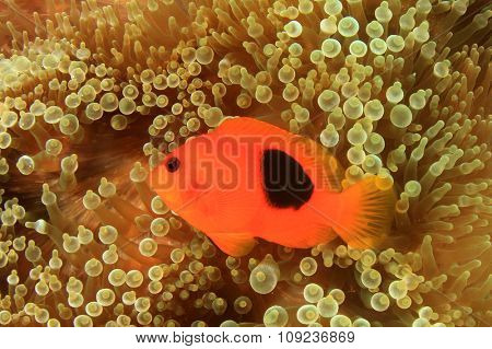 Tomato Anemonefish Clownfish nemo fish