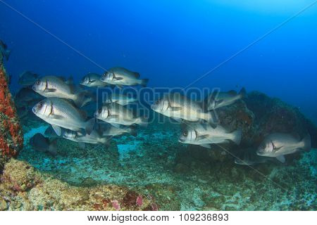 Andaman Sweetlips fish