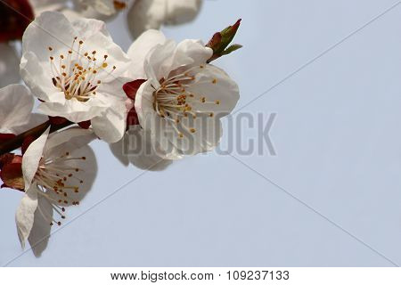 Flowers of an apricot against the sky.