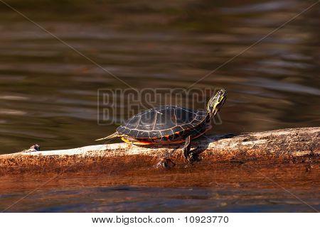 Wild Painted Turtle Sunning Himself On Log
