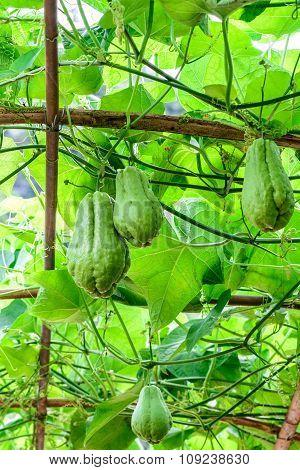 Organic chayote fruits hang on bamboo trellis.