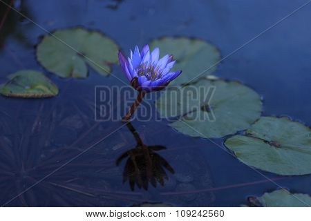 Blue star water lily, Nymphaea nochali