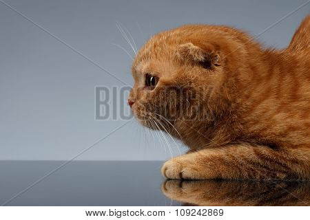 Closeup Ginger Scottish Fold Cat On Gray Background In Profile View