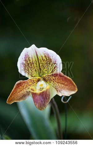 Lady Slipper Orchid Paphiopedilum