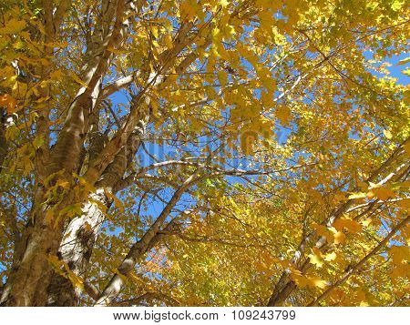 Mass of Yellow Maple Leaves