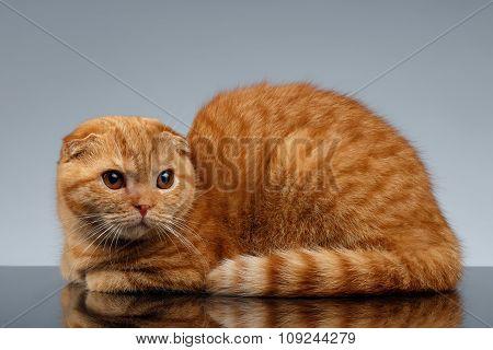 Ginger Scottish Fold Cat Lies On Gray