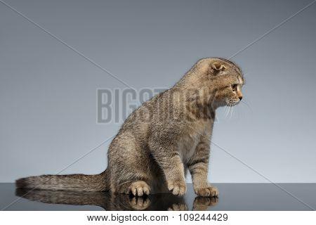 Scottish Fold Cat Sits On Gray Mirror