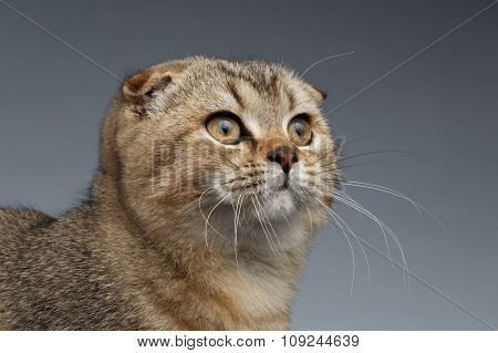 Closeup Portrait Of Scottish Fold Cat Looking Up On Gray
