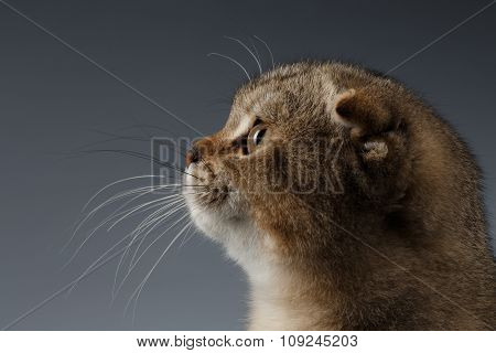 Closeup Portrait Of Scottish Fold Cat On Gray