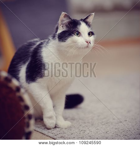 Black-and-white Domestic Cat