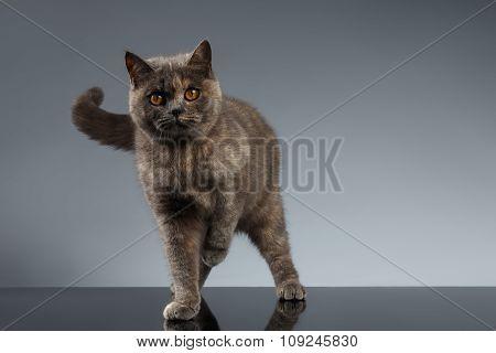 Scottish Cat Walks On Gray Mirror