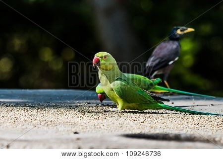 Pair Rose-Ringed Parakeet also known as the ring-necked parakeet, is a gregarious tropical Afro-Asian parakeet species that has an extremely large range.