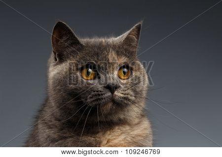 Closeup Portrait Of Scottish Cat On Gray