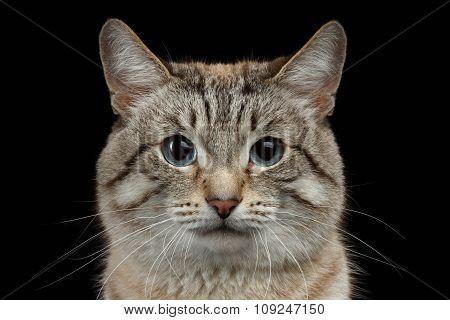 Closeup Portrait Of Thai Cat Isolated On Black