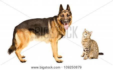 German Shepherd and a cat Scottish Straight together