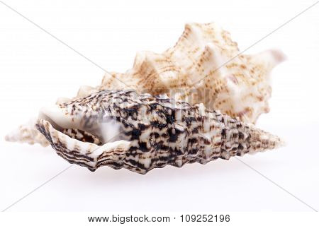 Seashells Of  Auger Shells Called Auger Snails Isolated On White Background