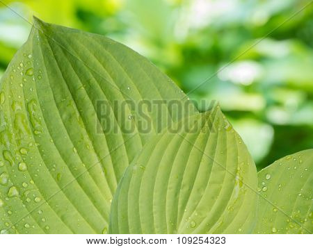 Hosta Leaves With Rain Drops On The Blurred Background