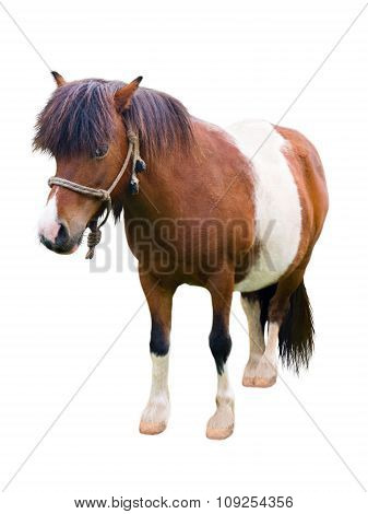 Brown And White Pony Isolated On White