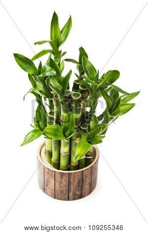 Isolated Green Lucky Bamboo Plant