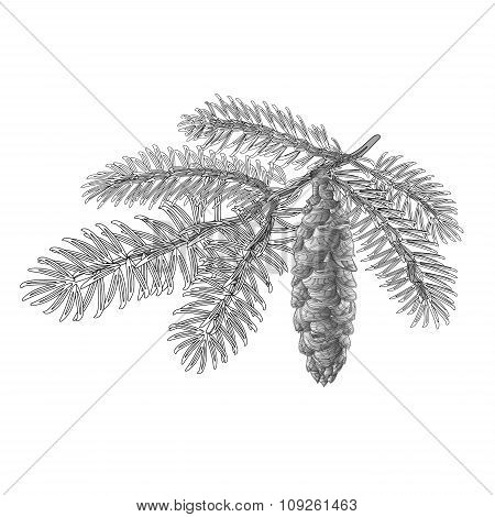 Spruce Branch With Cone As Vintage Engraving Vector
