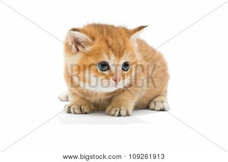 Little Kitten Breed British
