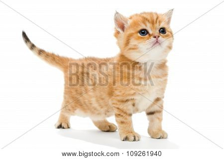 Little Kitten Breed British