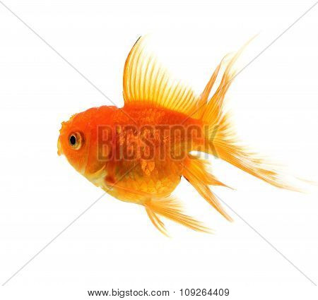 Red Goldfish On White Background