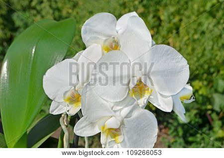 White Phalaenopsis orchid.