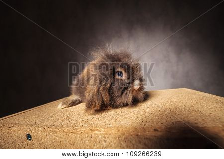 Cute lion head rabbit bunny sitting on a wood box looking at the camera.