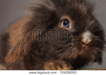Close up picture of a lion head rabbit bunny on grey background.