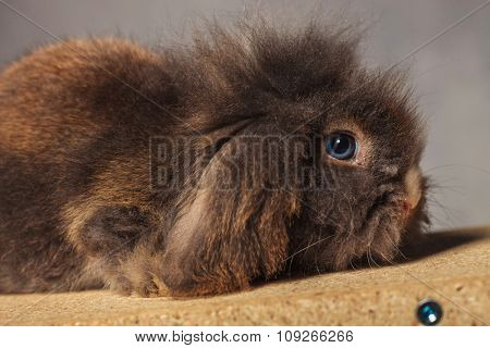 Side view picture of a adorable lion head rabbit bunny lying on a wood box.